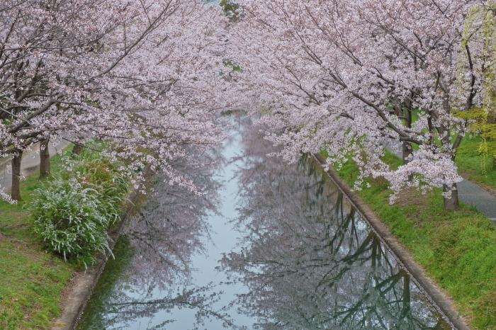 桜 2020_f0021869_14374518.jpg