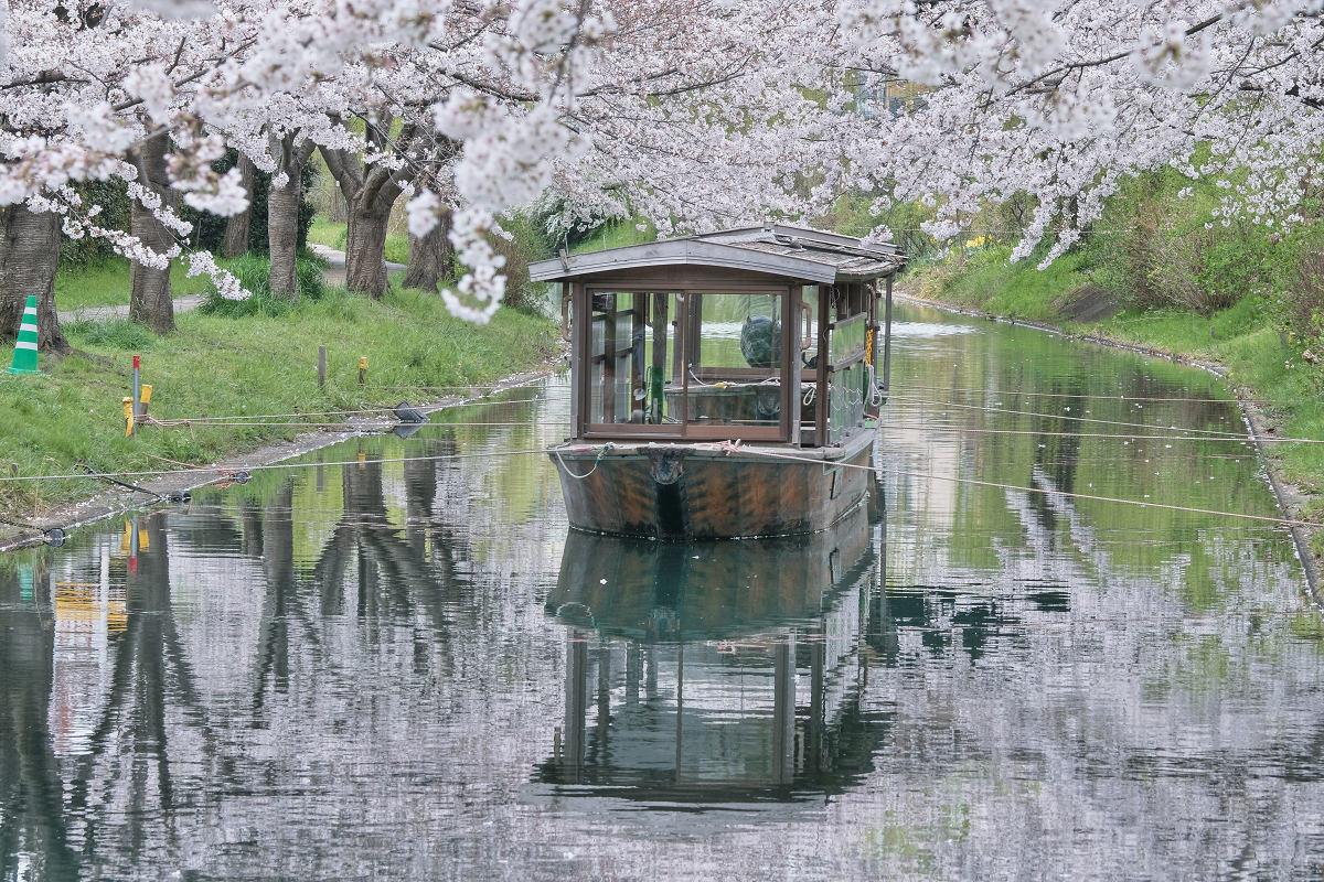 桜 2020_f0021869_14391302.jpg