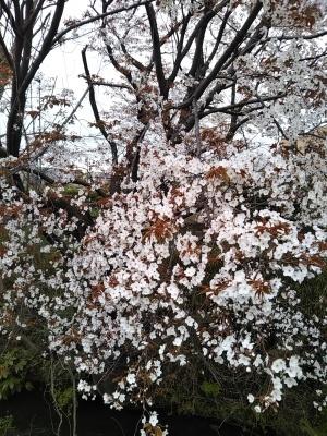 オークリーフ(桜)_f0049672_18333374.jpg