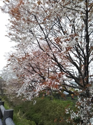 オークリーフ(桜)_f0049672_18335923.jpg