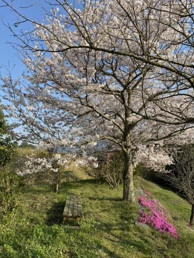 裏山の桜だより⑤ 2020 _c0334574_19020370.jpeg