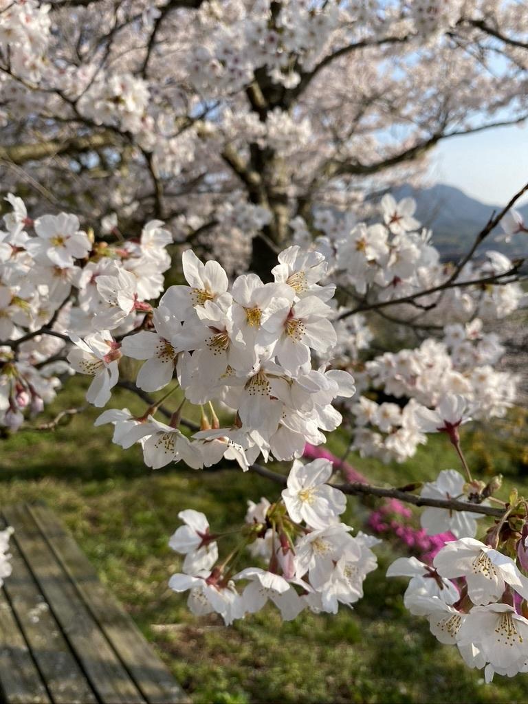 裏山の桜だより⑤ 2020 _c0334574_19024913.jpeg