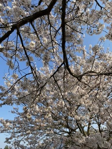 裏山の桜だより⑤ 2020 _c0334574_19025421.jpeg