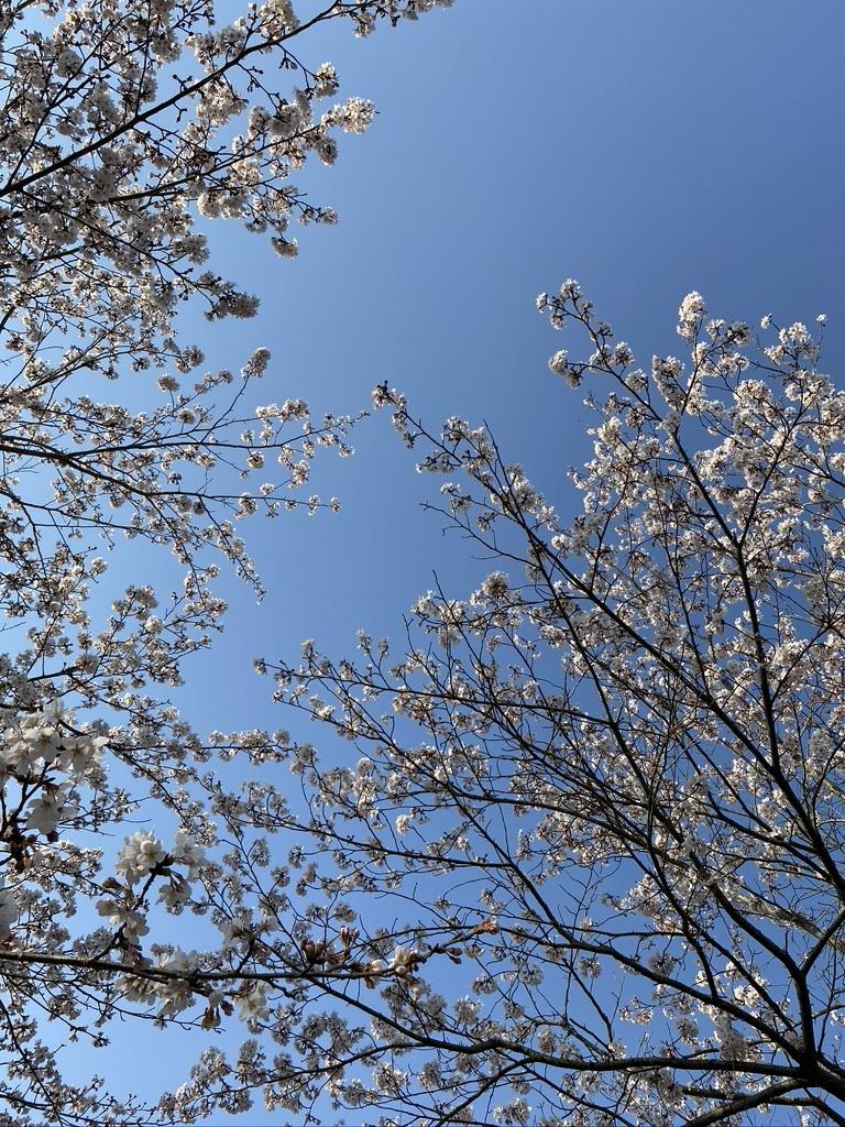 裏山の桜だより⑤ 2020 _c0334574_19031542.jpeg