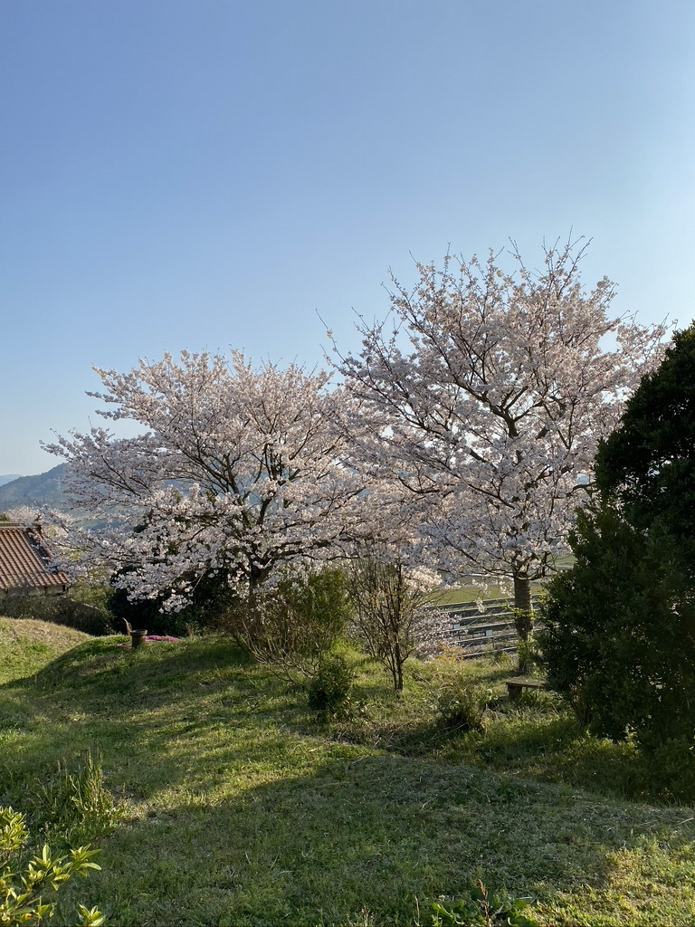 裏山の桜だより⑤ 2020 _c0334574_19034032.jpeg