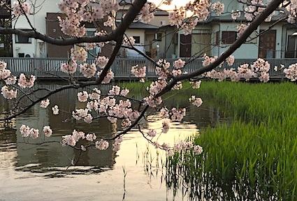 桜便り_b0011075_10295317.jpg