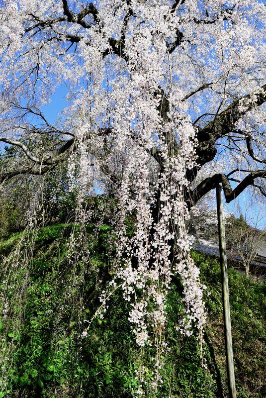 花見のはしご_d0061579_98672.jpg