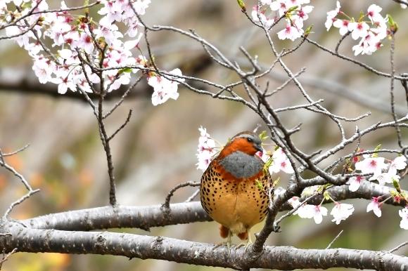 桜に コジュケイ_c0164881_13234764.jpg