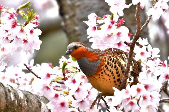 桜に コジュケイ_c0164881_13245892.jpg