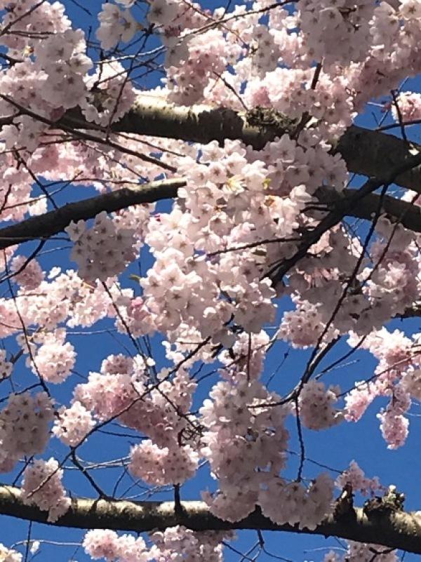 今年の桜_d0129786_18023784.jpg