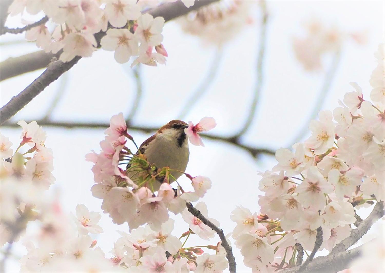 桜=ニュウナイスズメ_e0254493_12515765.jpg