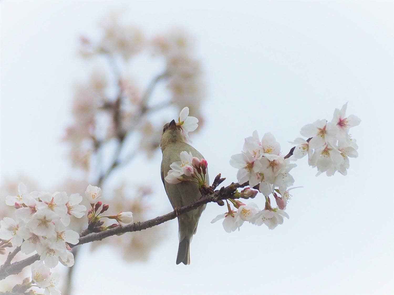 桜=ニュウナイスズメ_e0254493_12525010.jpg