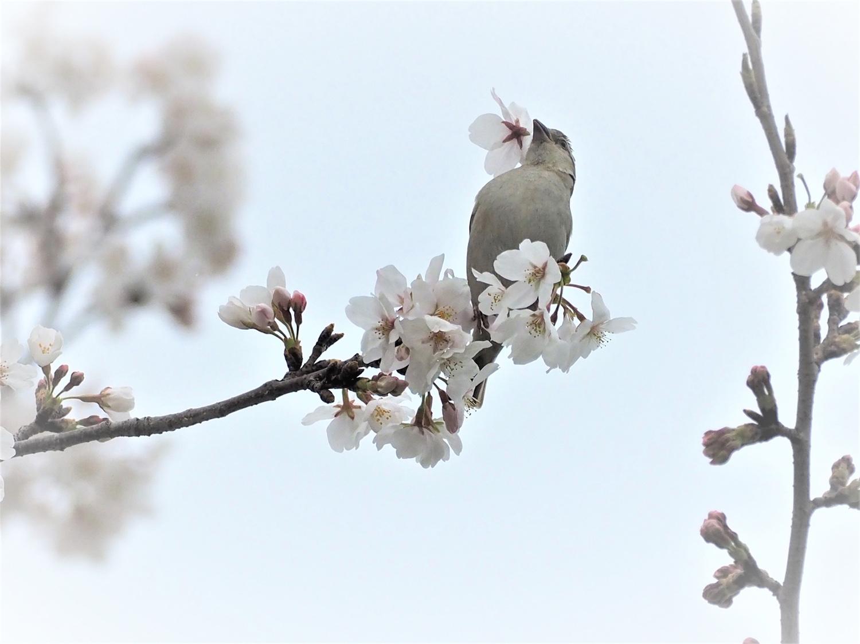 桜=ニュウナイスズメ_e0254493_12533298.jpg