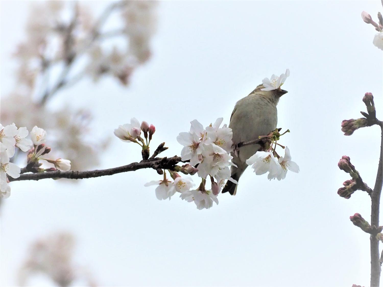 桜=ニュウナイスズメ_e0254493_1253527.jpg