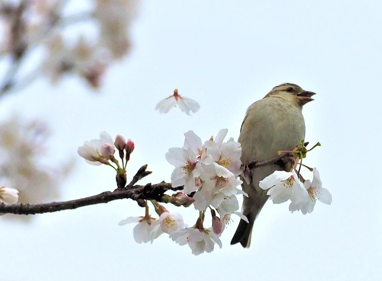 桜=ニュウナイスズメ_e0254493_12541078.jpg