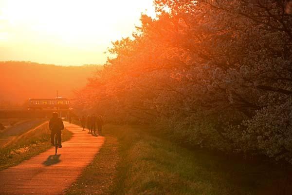 多摩川・夕日に包まれる桜並木_f0173596_21214248.jpg