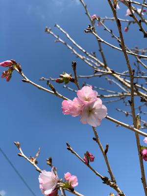 満開の桜_b0135599_14464973.jpg