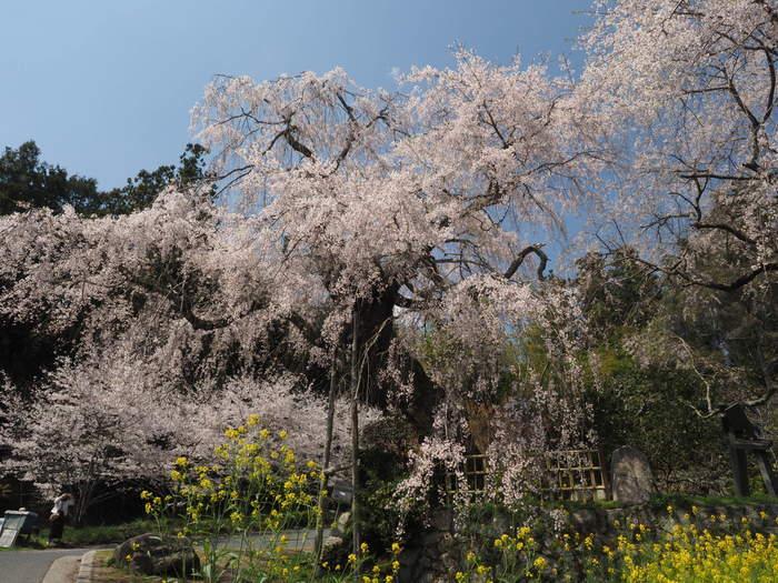 神原のしだれ桜_c0116915_00101858.jpg