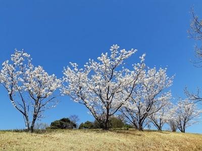 大仏山 桜ウォーキング_f0129726_18143427.jpg