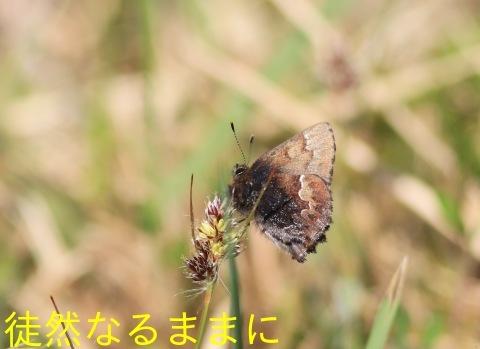 ミヤマセセリ・コツバメ_d0285540_06412142.jpg