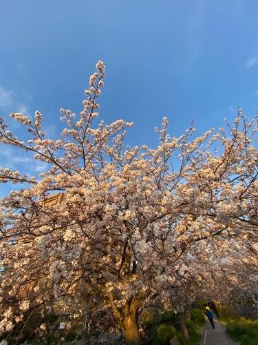 今日の桜も綺麗に咲き誇っていました。苗床もウリ科 ナス科 ユリ科 順調に発芽しています_c0222448_13450137.jpg
