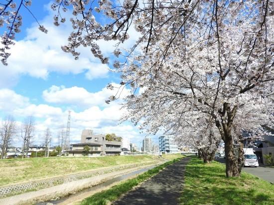ふつうの桜_e0406450_21164961.jpg
