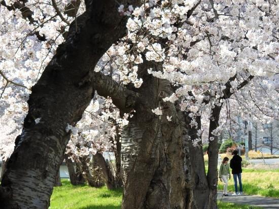 ふつうの桜_e0406450_21180188.jpg