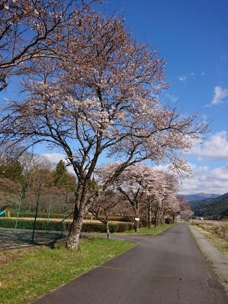 付知川河川敷桜情報🌸_e0020051_11310044.jpg