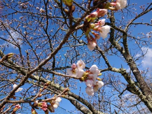 付知川河川敷桜情報🌸_e0020051_11312866.jpg