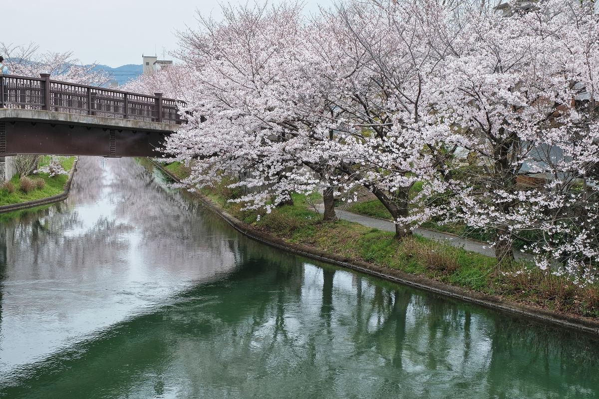 桜 2020_f0021869_00102255.jpg