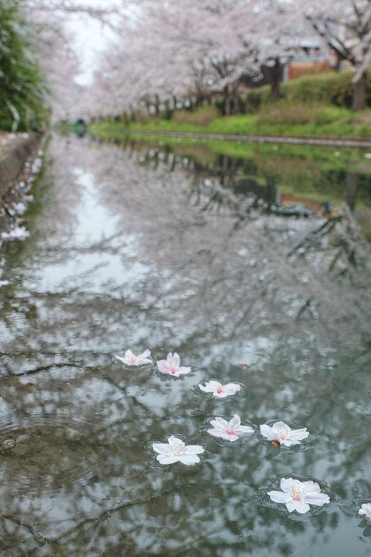 桜 2020_f0021869_22510133.jpg