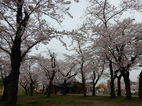 3密避けてこっそりお花見散歩_e0355177_09182432.jpg