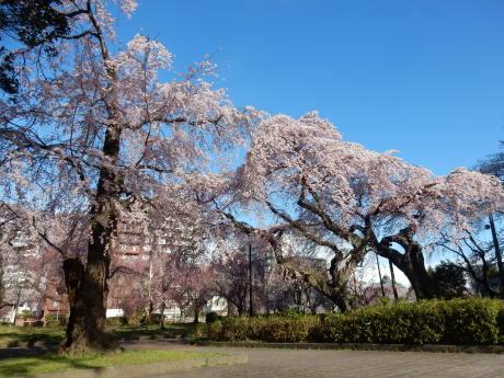 3密避けてこっそりお花見散歩_e0355177_09242797.jpg