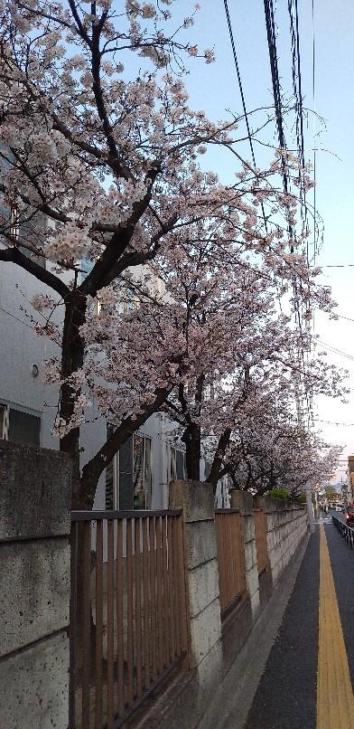 桜ごしの_f0237788_18572174.jpg