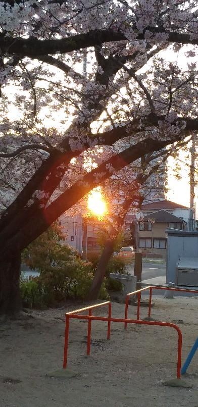 桜ごしの_f0237788_19012512.jpg