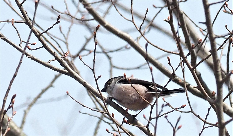 桜に野鳥が_e0254493_2345332.jpg