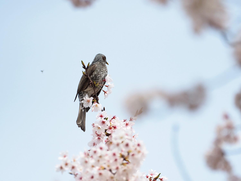 桜に野鳥が_e0254493_23455348.jpg