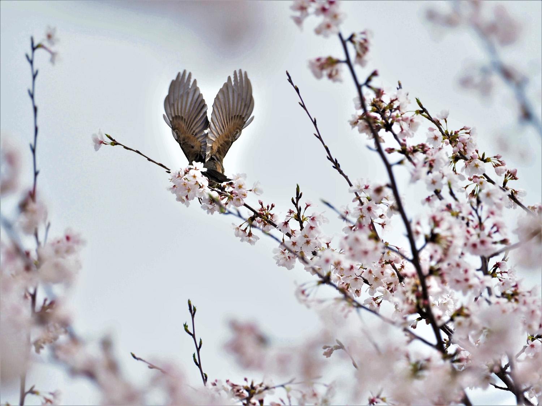 桜に野鳥が_e0254493_23463381.jpg