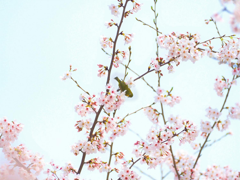 桜に野鳥が_e0254493_2346583.jpg