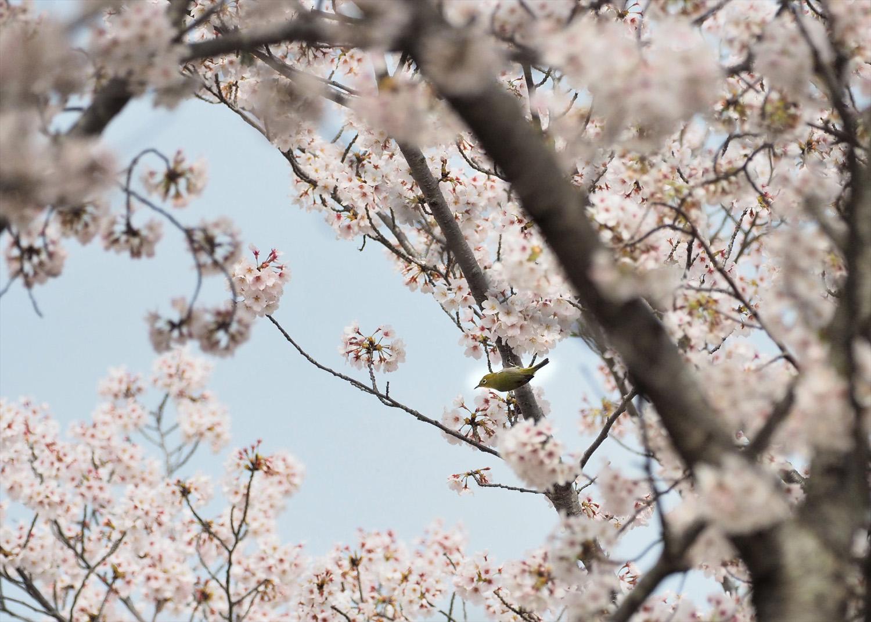 桜に野鳥が_e0254493_23471616.jpg