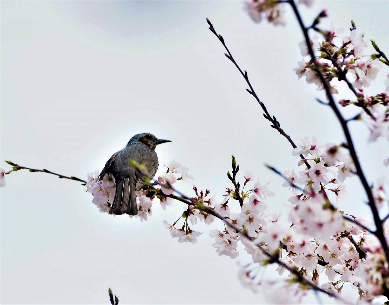 桜に野鳥が_e0254493_2352548.jpg
