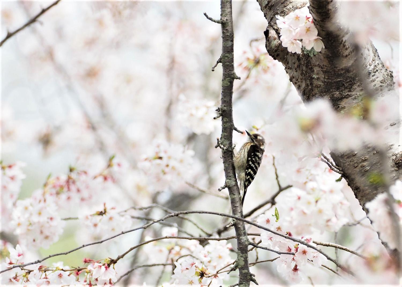 桜に野鳥が_e0254493_23563212.jpg