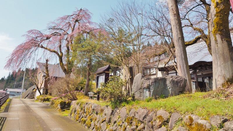 千手院の枝垂れ桜が開花しました_c0336902_18282812.jpg