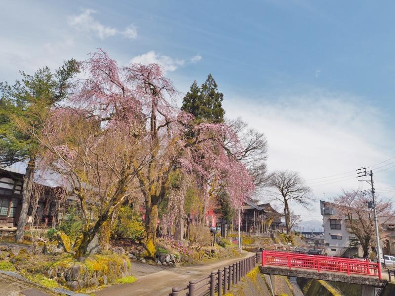 千手院の枝垂れ桜が開花しました_c0336902_18283219.jpg