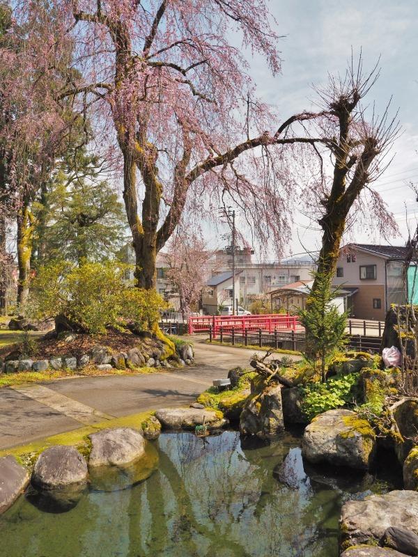 千手院の枝垂れ桜が開花しました_c0336902_18283722.jpg