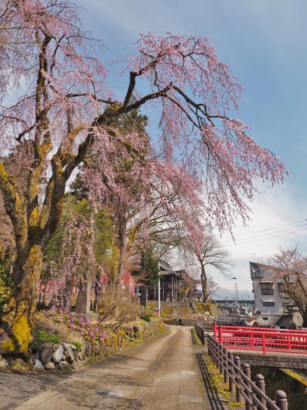 千手院の枝垂れ桜が開花しました_c0336902_18284111.jpg