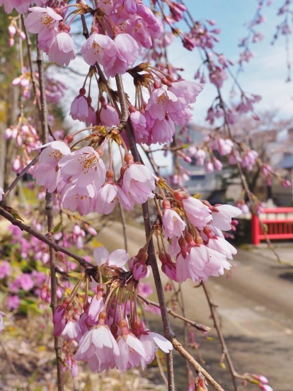千手院の枝垂れ桜が開花しました_c0336902_18284775.jpg