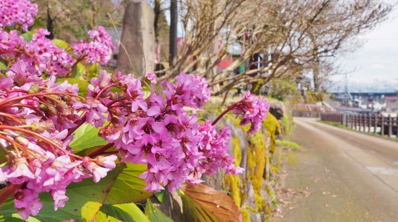 千手院の枝垂れ桜が開花しました_c0336902_18290155.jpg