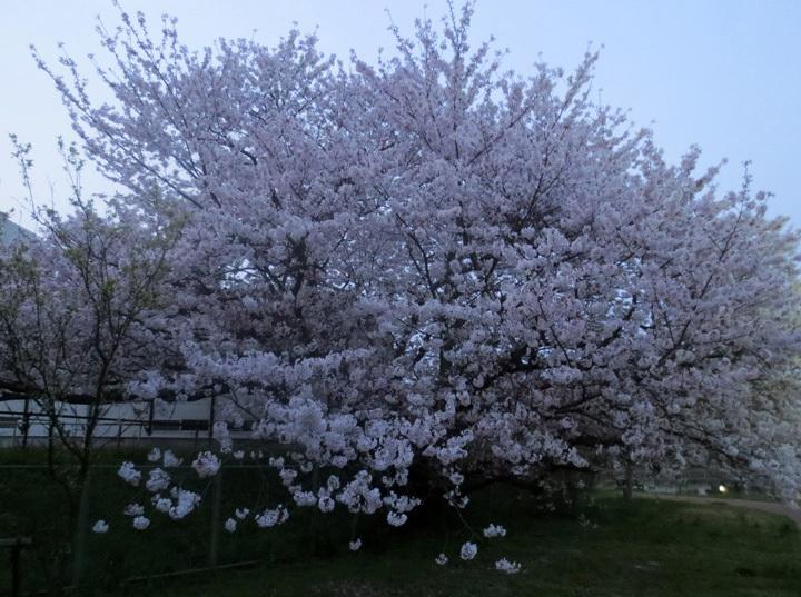 ■柄にもなく桜見物ウォーキング──週替わりの夕暮れ[4/2-5]_d0190217_14110907.jpg