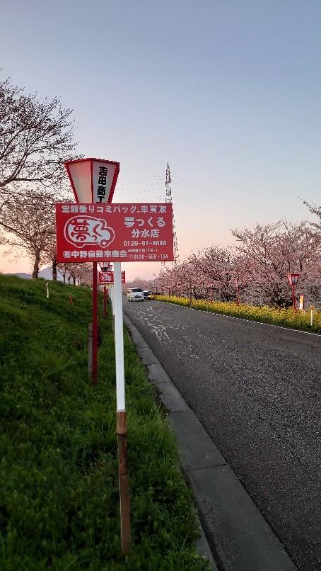 大河津分水の桜と菜の花_b0237229_18203386.jpg
